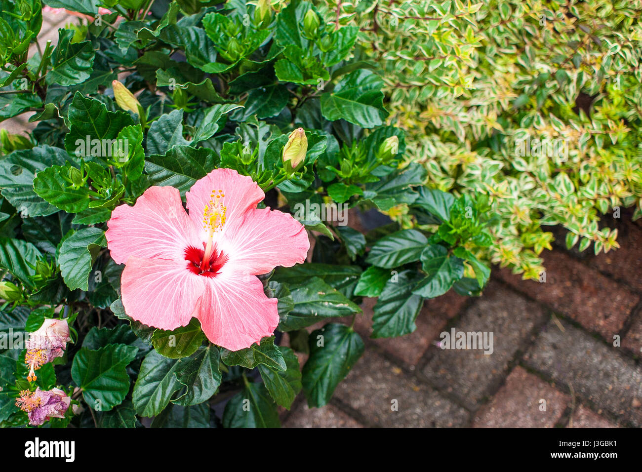 A Pink Hibiscus Flower Stock Photos & A Pink Hibiscus Flower Stock ...