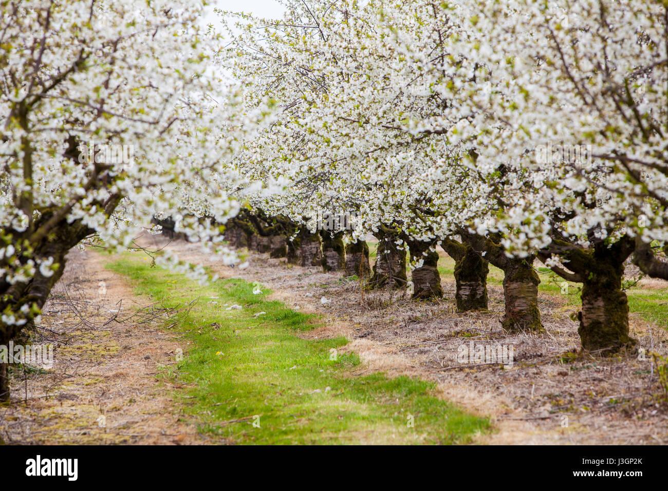 Blossoming cherry (Prunus sp.) trees in spring, Weserbergland, Hesse, Germany, Europe Stock Photo