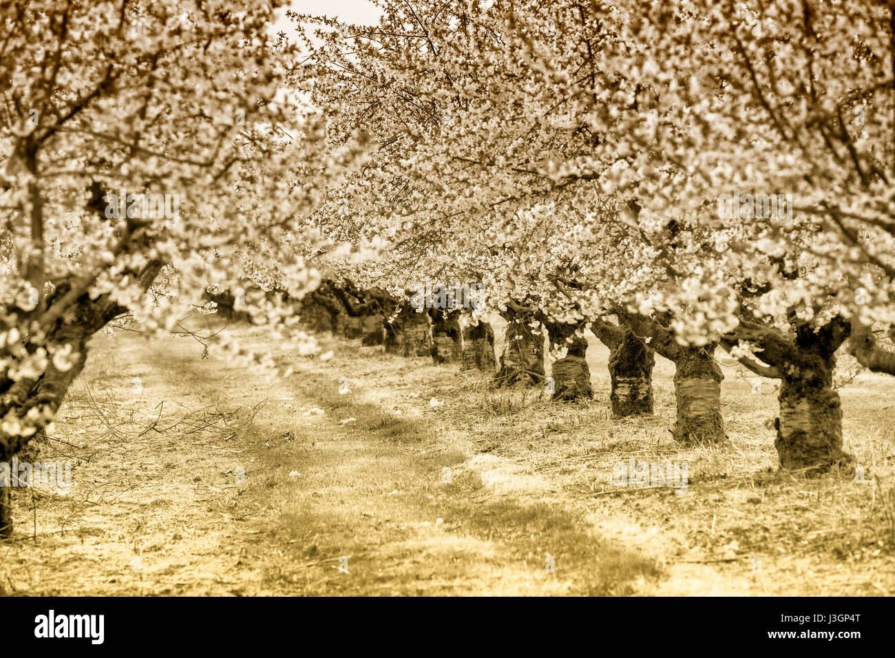 Blossoming cherry (Prunus sp.) trees in spring, Weserbergland, Hesse, Germany, Europe - Stock Image