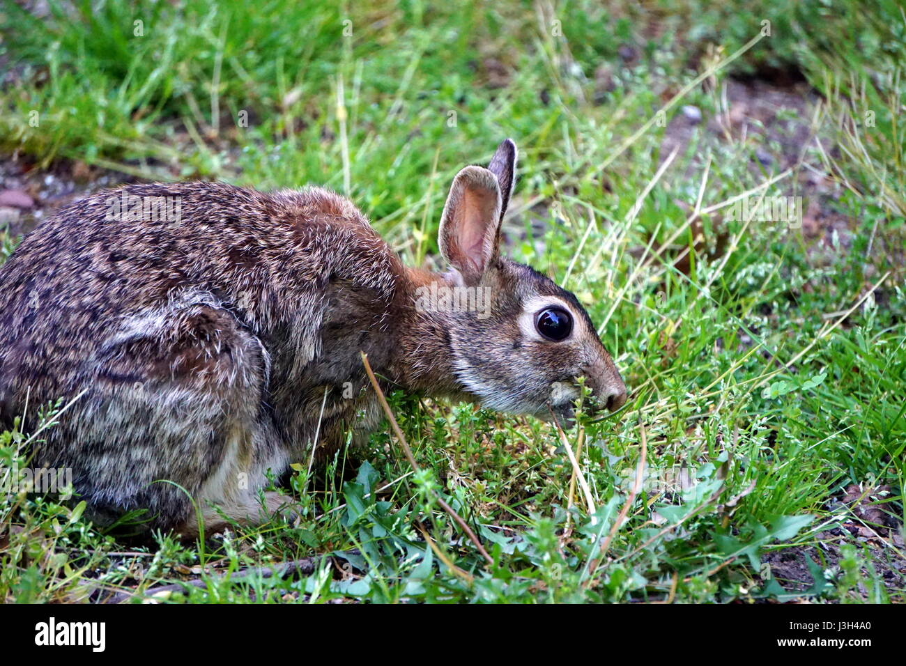 Wild Rabbits Eating Garden Stock Photos & Wild Rabbits Eating Garden