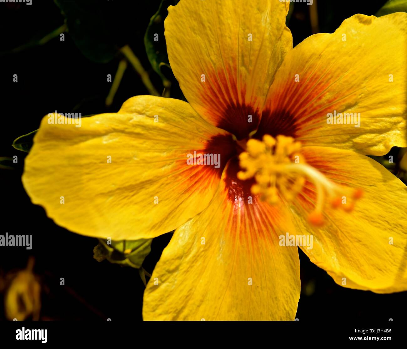 Flower behind ear stock photos flower behind ear stock images alamy close up of the yellow hibiscus traditionally worn by hawaiian girls behind the ear to izmirmasajfo