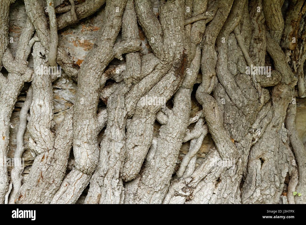 common ivy from Brijuni National Park - Stock Image