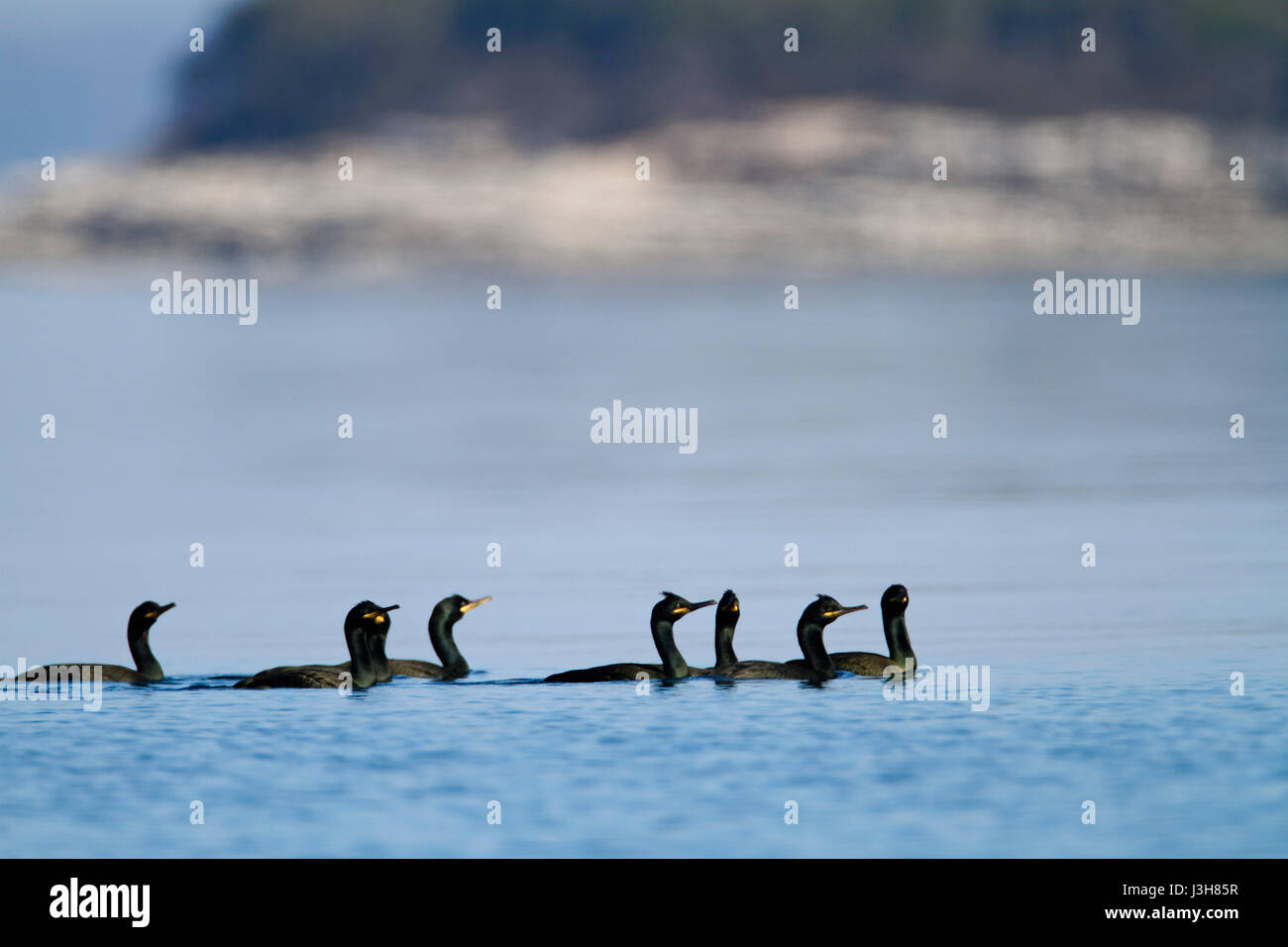 Shag from Brijuni National Park - Stock Image