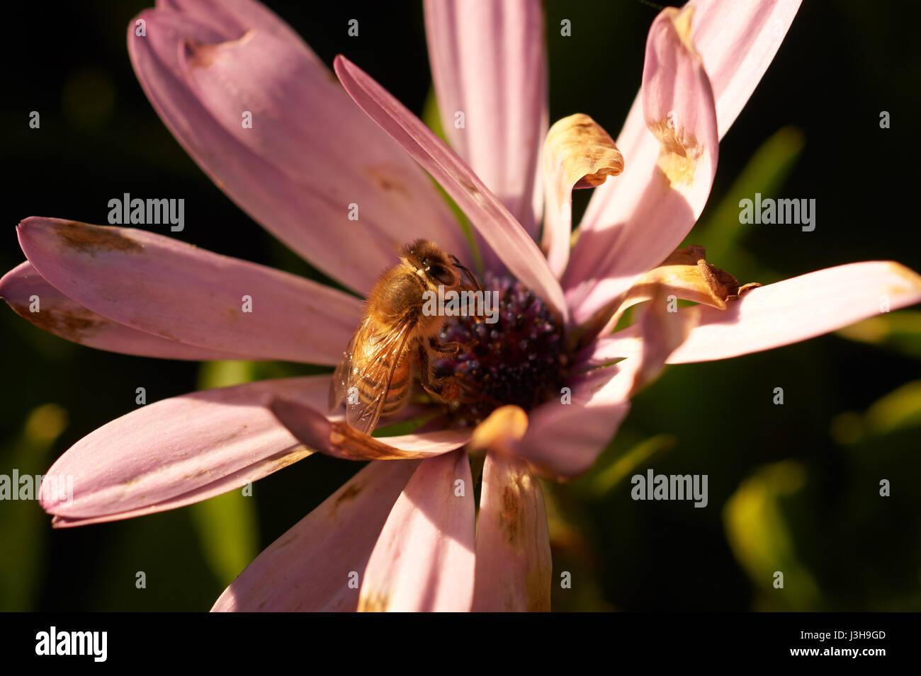 macro image of bee on flower - Stock Image