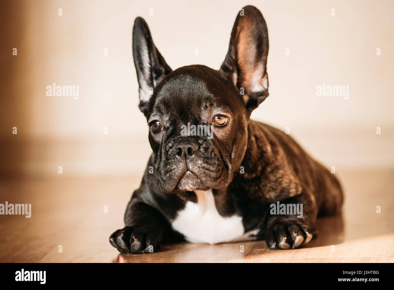 11cd0242ced8 Young Black French Bulldog Dog Puppy With White Spot Sitting On Laminate  Floor Indoor Home.