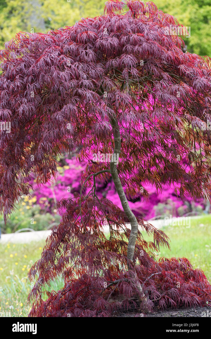 Acer Palmatum Crimson Queen Japanese Maple Deep Reddish Purple