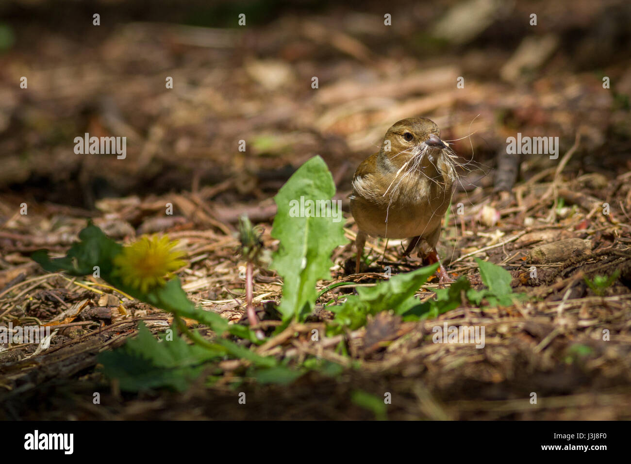 UK Wildlife:  Female chaffinch collecting dog hair for a nest, Yorkshire - Stock Image