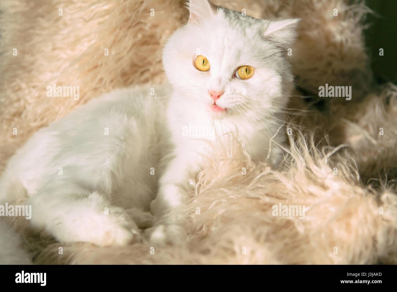 White funny cat Scottish Highland Straight lying on Fluffy blanket - Stock Image