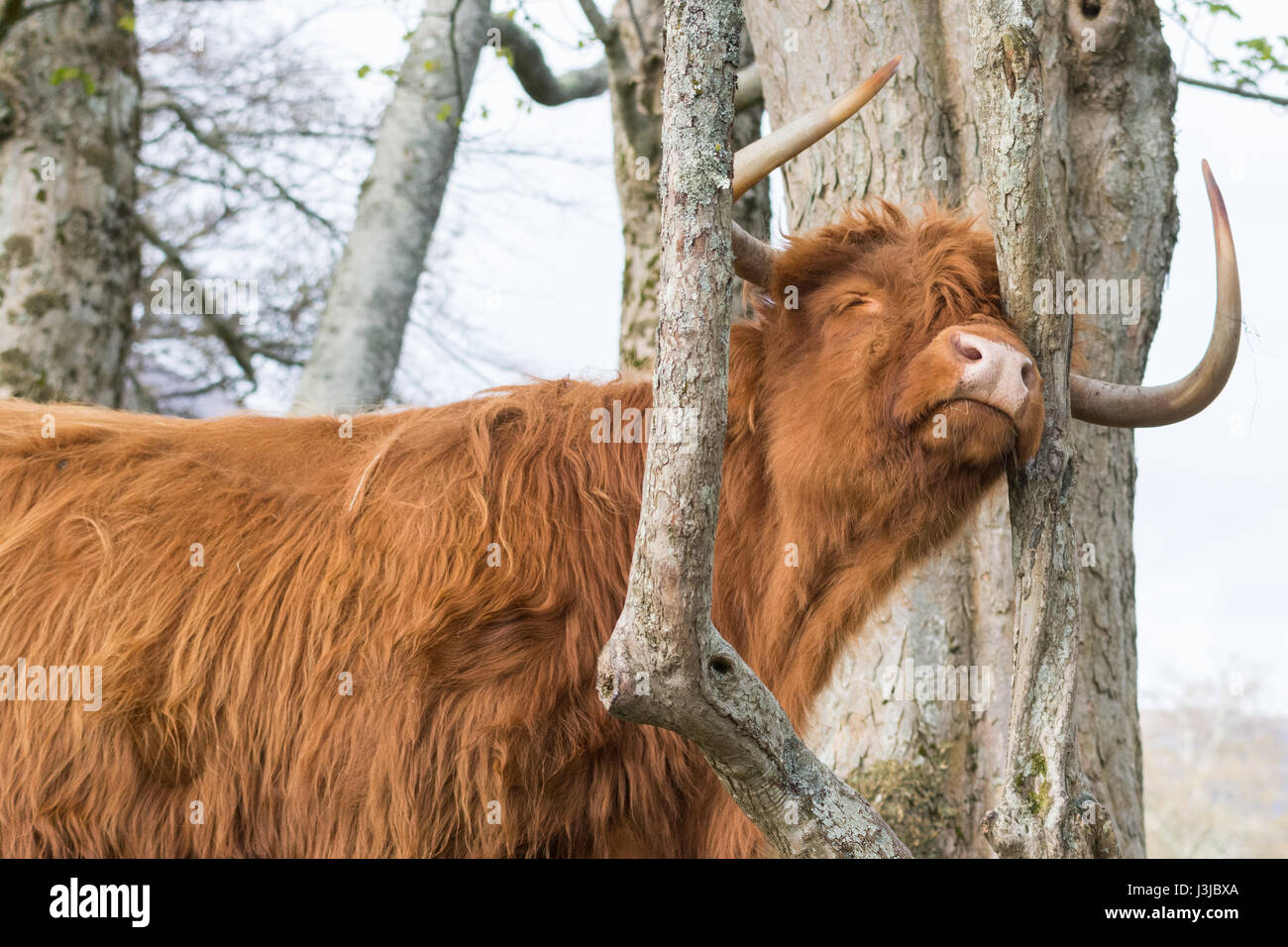 Bliss - a highland cow looking blissfully happy as it scratches against a tree - Stock Image