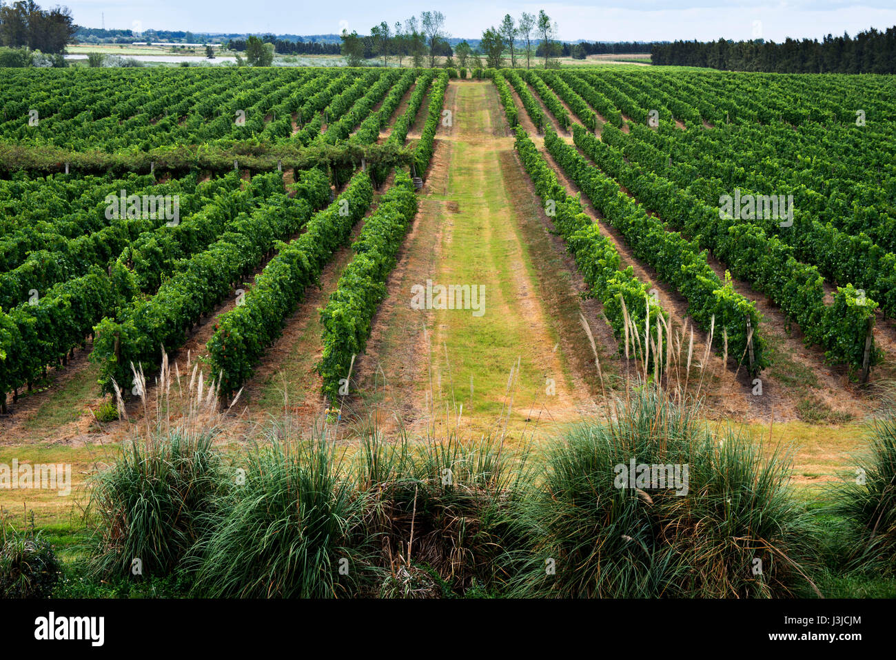 Vineyards in Fall Colors, Juanico Winery, Uruguay's largest and most award-winning Winery 38km North of of Montevideo, - Stock Image