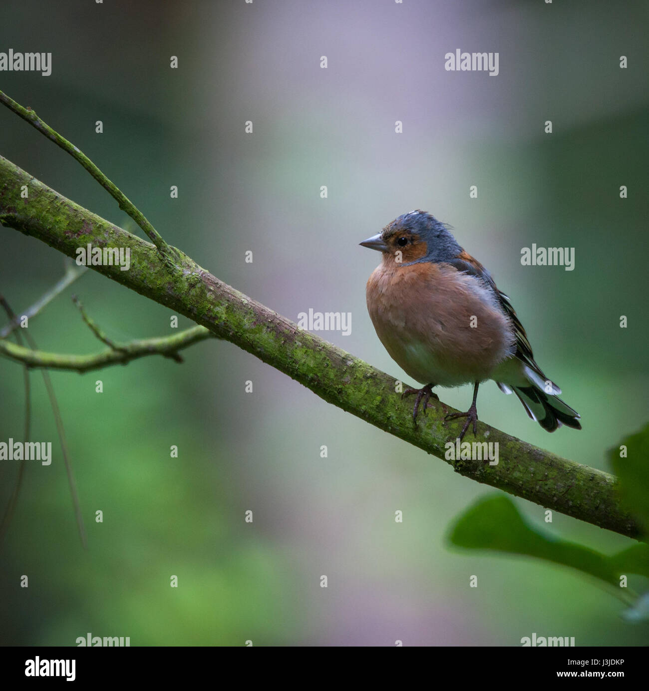 Chaffinch perched in a tree - Stock Image