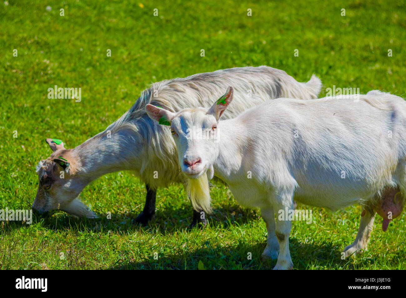 VALDRES, NORWAY - 6 JULY, 2015: Mountain goats wandering freely in beautiful sorroundings located at Valdresflya. - Stock Image
