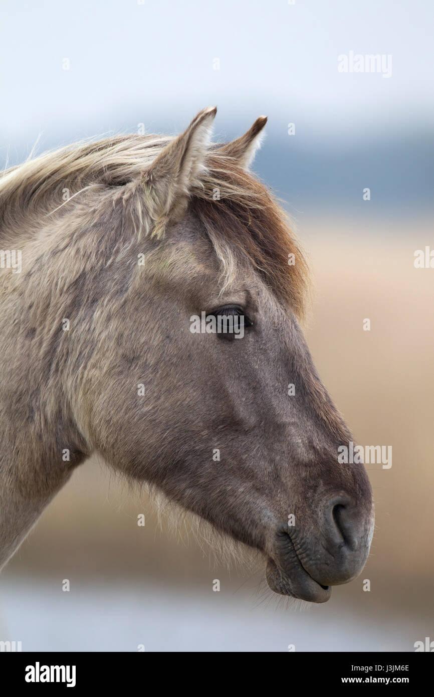 Konik Pony, portrait of single adult in reedbed, Minsmere, Suffolk, UK - Stock Image
