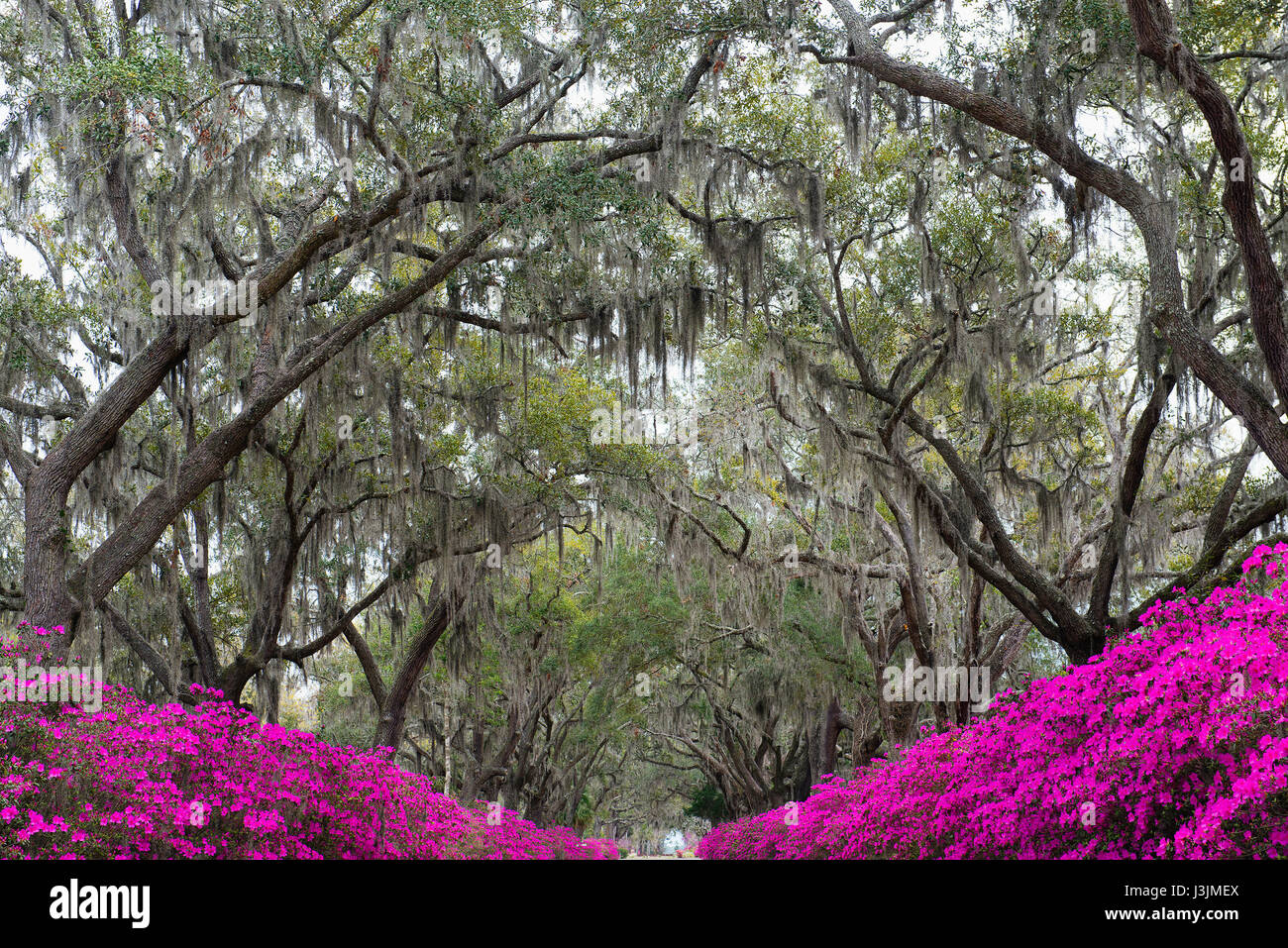 Oak trees covered in spanish moss with blooming azaleas in Bonaventure Cemetery. - Stock Image