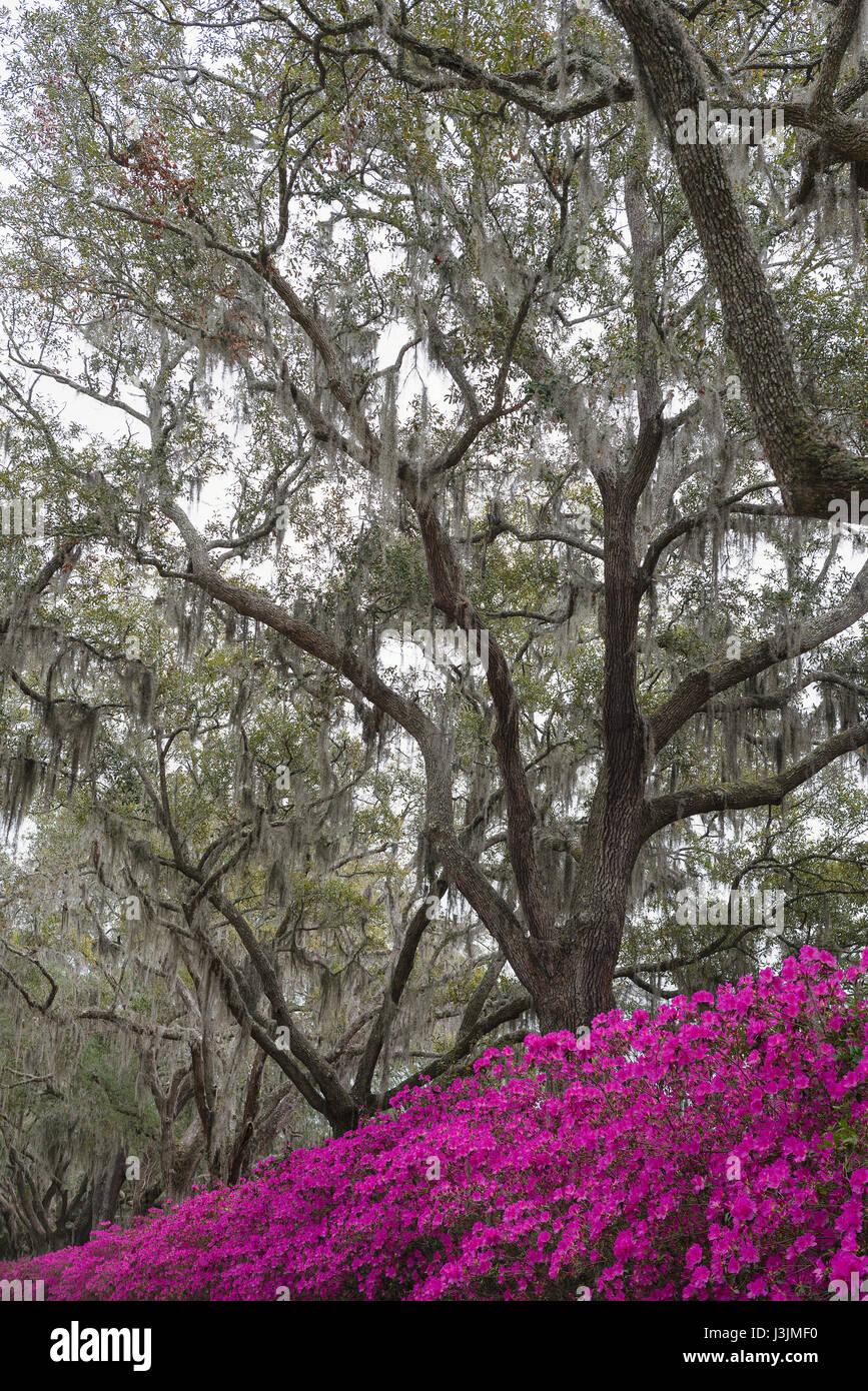 Azaleas in Savannah, Georgia. - Stock Image