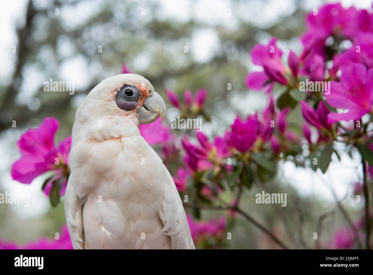 Bare eyed cockatoo in front of an Azalea bush. - Stock Image