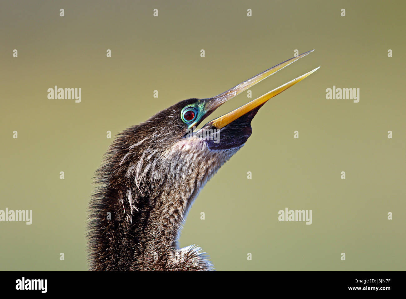 Portrait of an Anhinga at Sweetwater Wetlands Park in Gainesville, Florida. - Stock Image