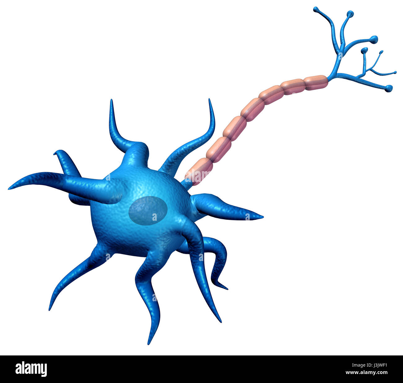 Synapse neuron body anatomy isolated on a white background with axon cell body and myelin sheath as a 3D illustration. - Stock Image