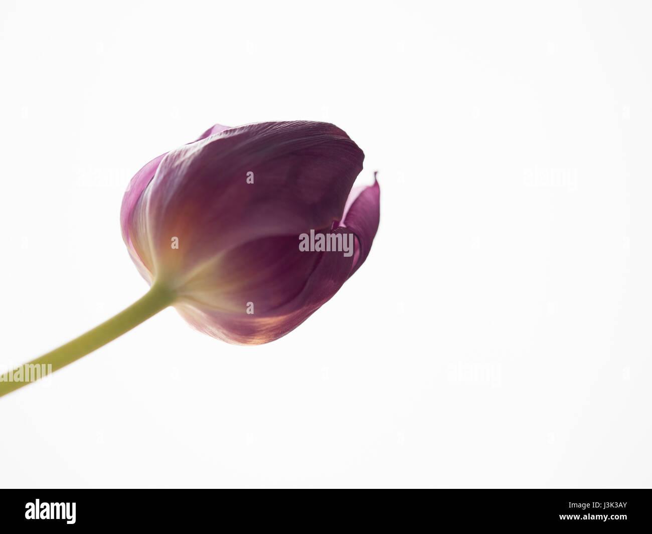 violett tulip closeup / macro and white background - Stock Image