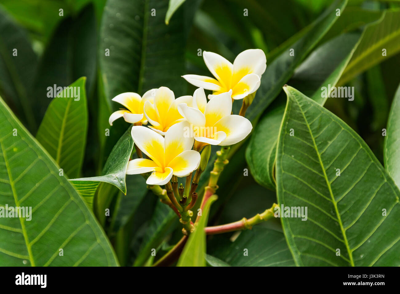 Flower white and yellow tropical plant stock photo 139947017 alamy flower white and yellow tropical plant mightylinksfo