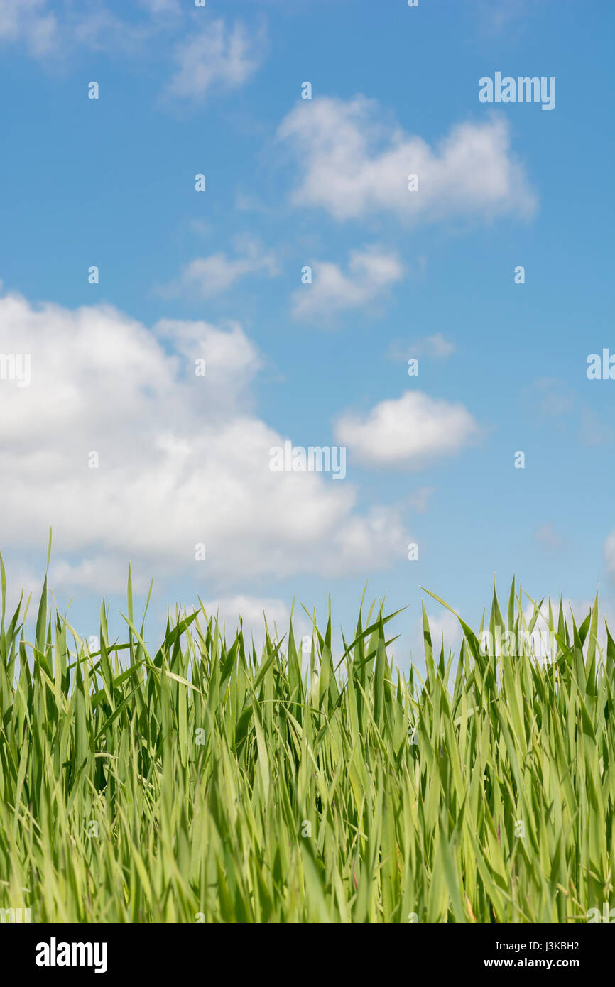 Fresh green grass shoots blue sky - metaphor for 'grass' sayings -  'Don't Let the Grass Grow Under - Stock Image