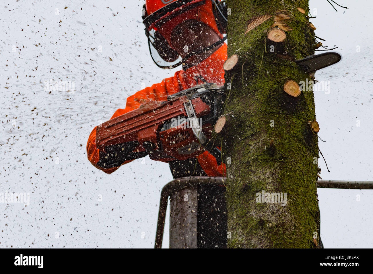 Woodcutter cutting tree with a chainsaw. - Stock Image
