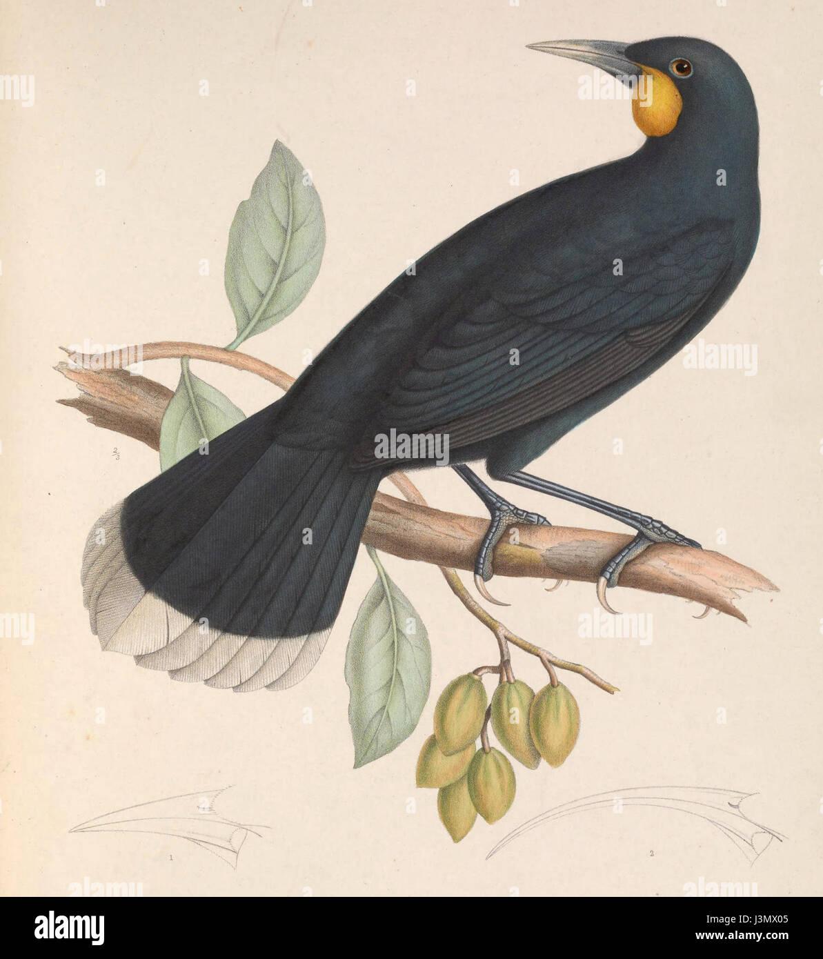 Heteralocha acutirostris 1849 Stock Photo
