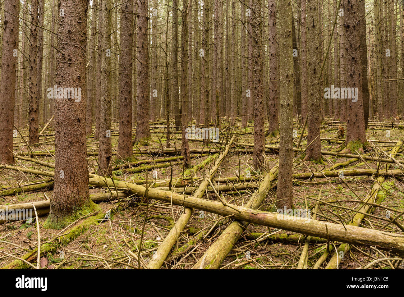 A dense forest of Norway Spruce trees, littered with fallen trees, on the Kelly Hollow Loop trail in the Catskills - Stock Image