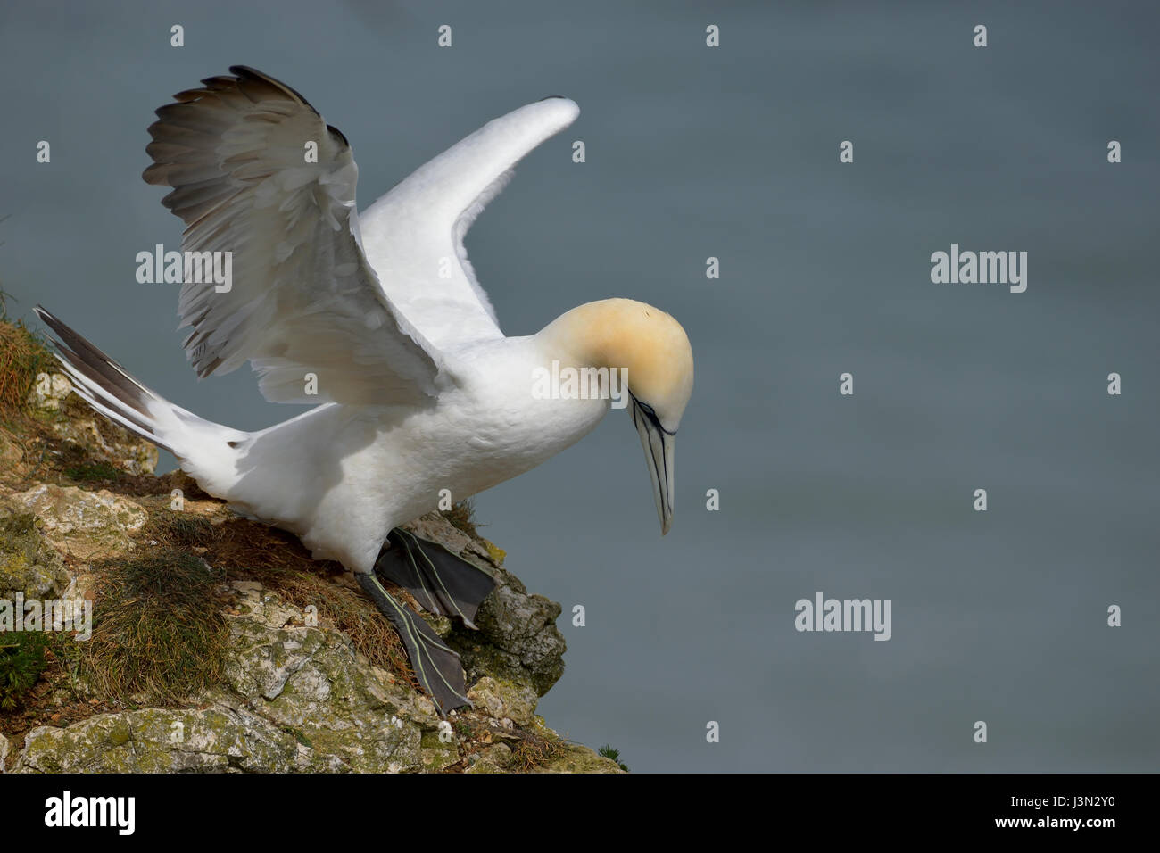 Gannet taking off - Stock Image