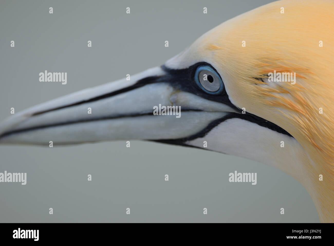 Gannet Eye - Stock Image