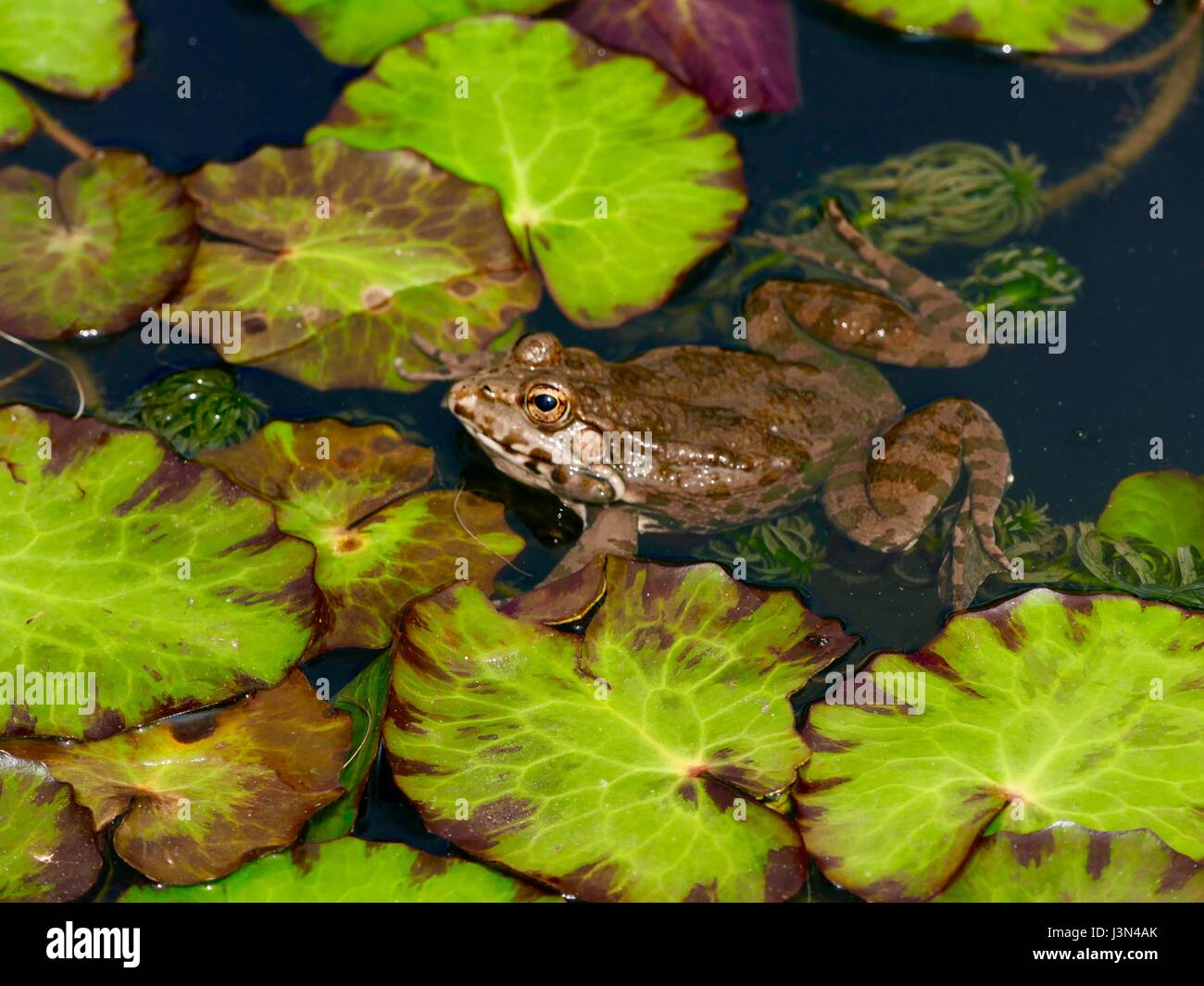 Brown colored European edible frog in a pond with green Lily Pads. Paris, France - Stock Image