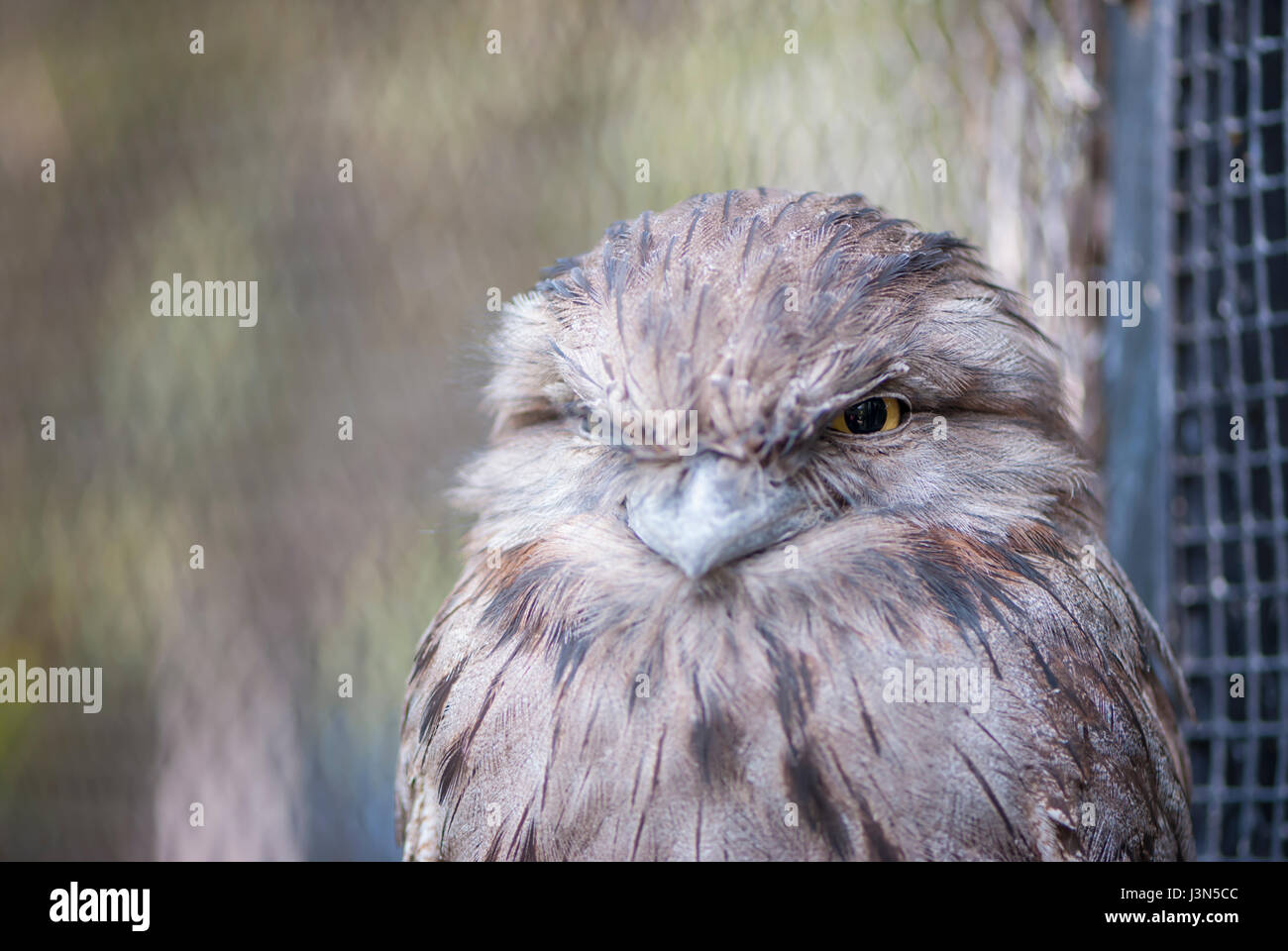 Closeup of the Australian tawny frogmouth, showing the head and the upper torso. Positioned to the right there is - Stock Image