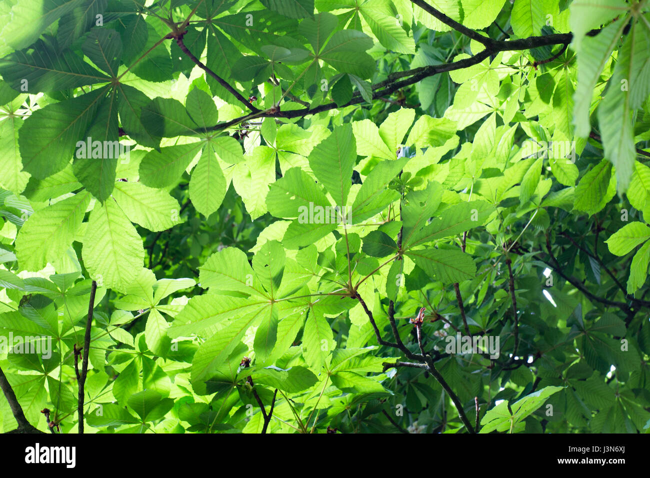 Bright green leaves on a tree on Hampstead Heath, London. - Stock Image