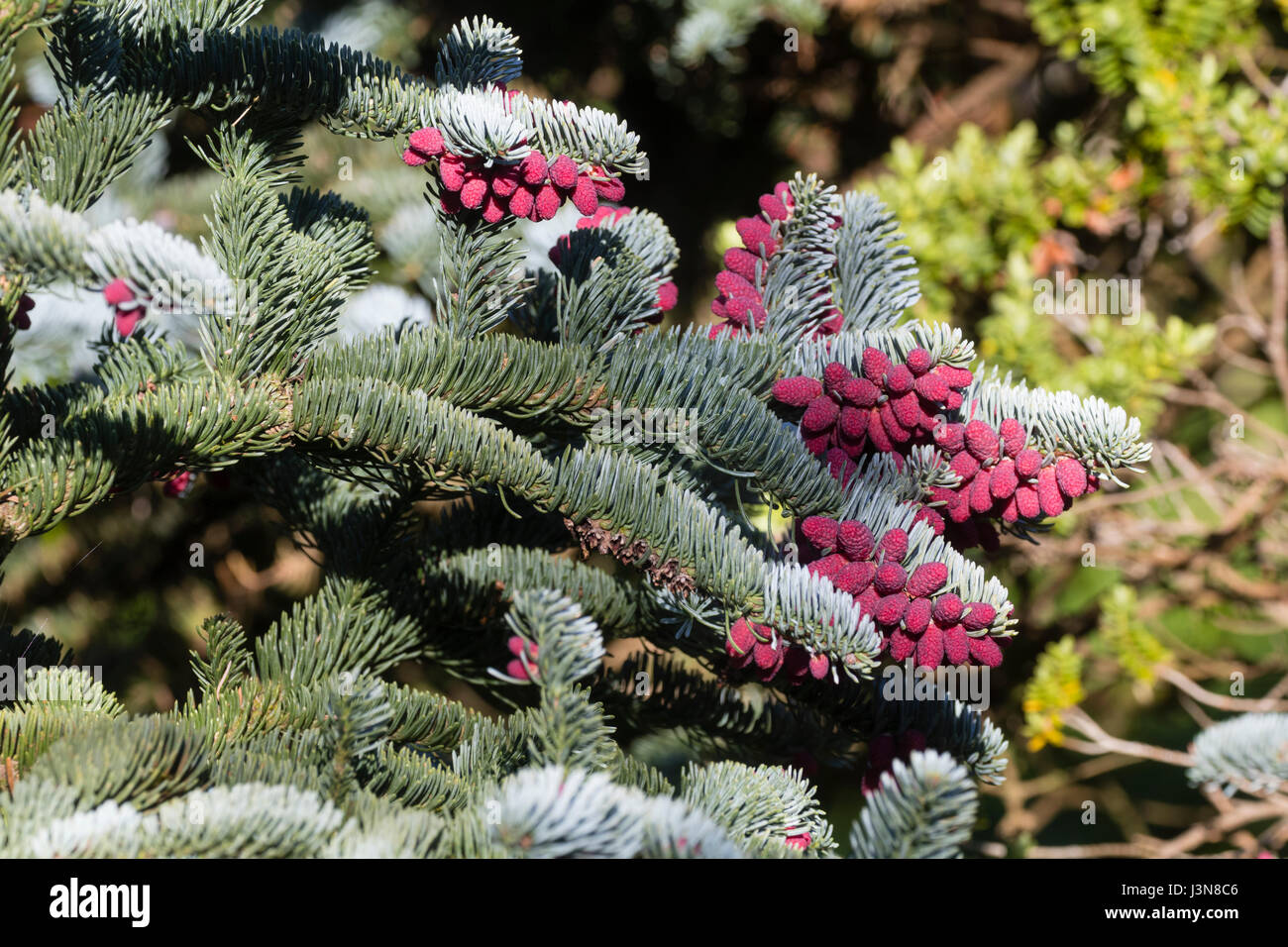 Red spring cones contrast with the silvery foliage of the evergreen fir, Abies procera 'Glauca Prostrata' - Stock Image