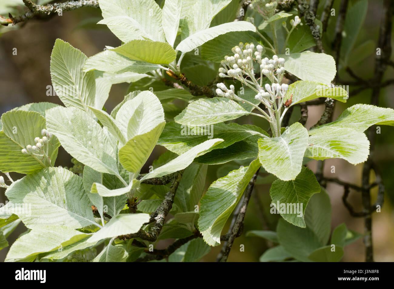White flower clusters stock photos white flower clusters stock silvery spring foliage and white flower clusters of the hardy deciduous whitebeam tree sorbus aria mightylinksfo