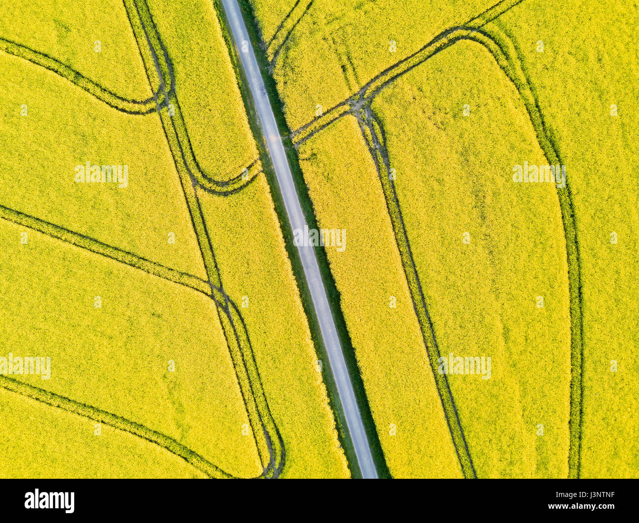 Beautiful top-down drone aerial view of yellow rapeseed field in flowers with a road and geometric tractor tracks Stock Photo