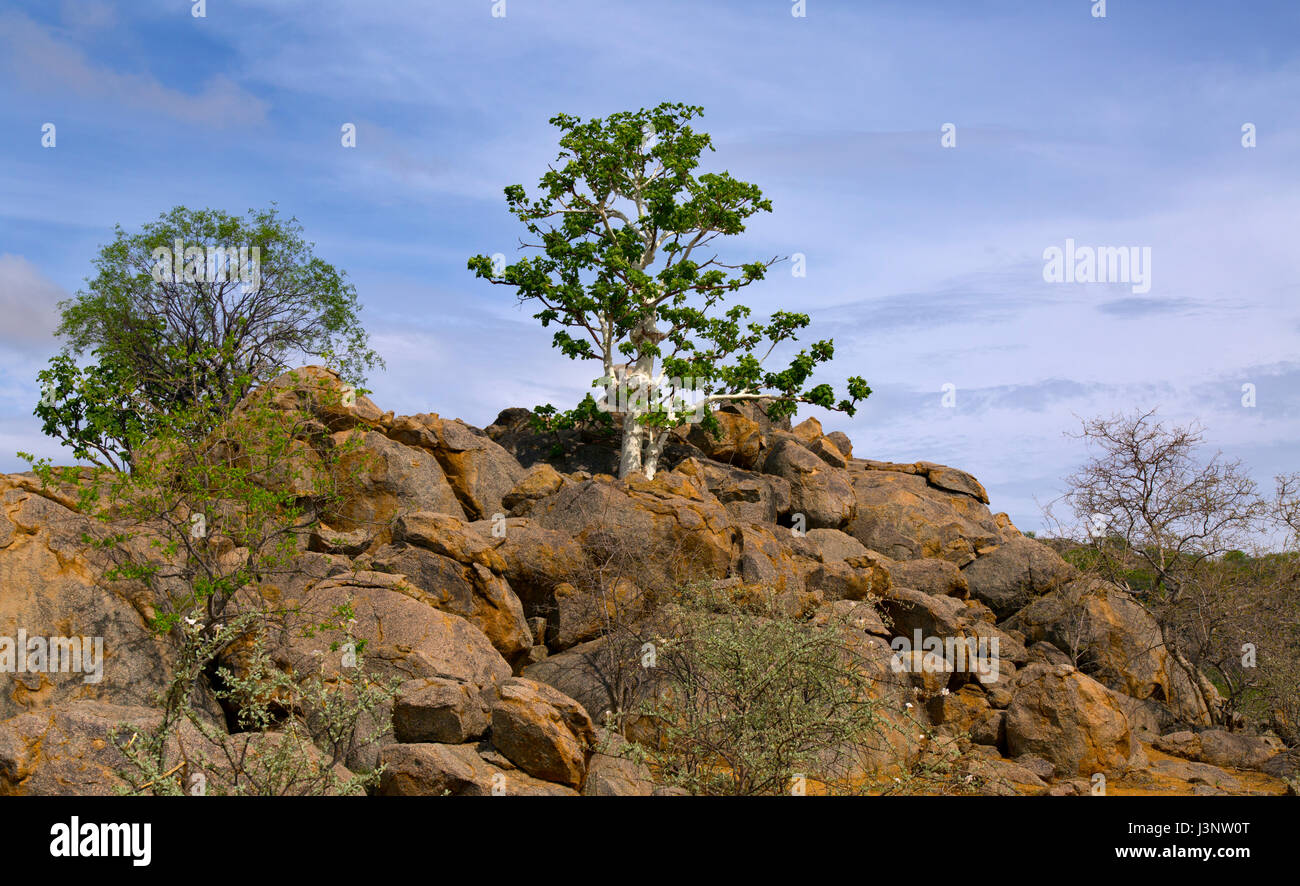 Sterculia quinqueloba tree growing on rocky hillside, Namibia Stock Photo