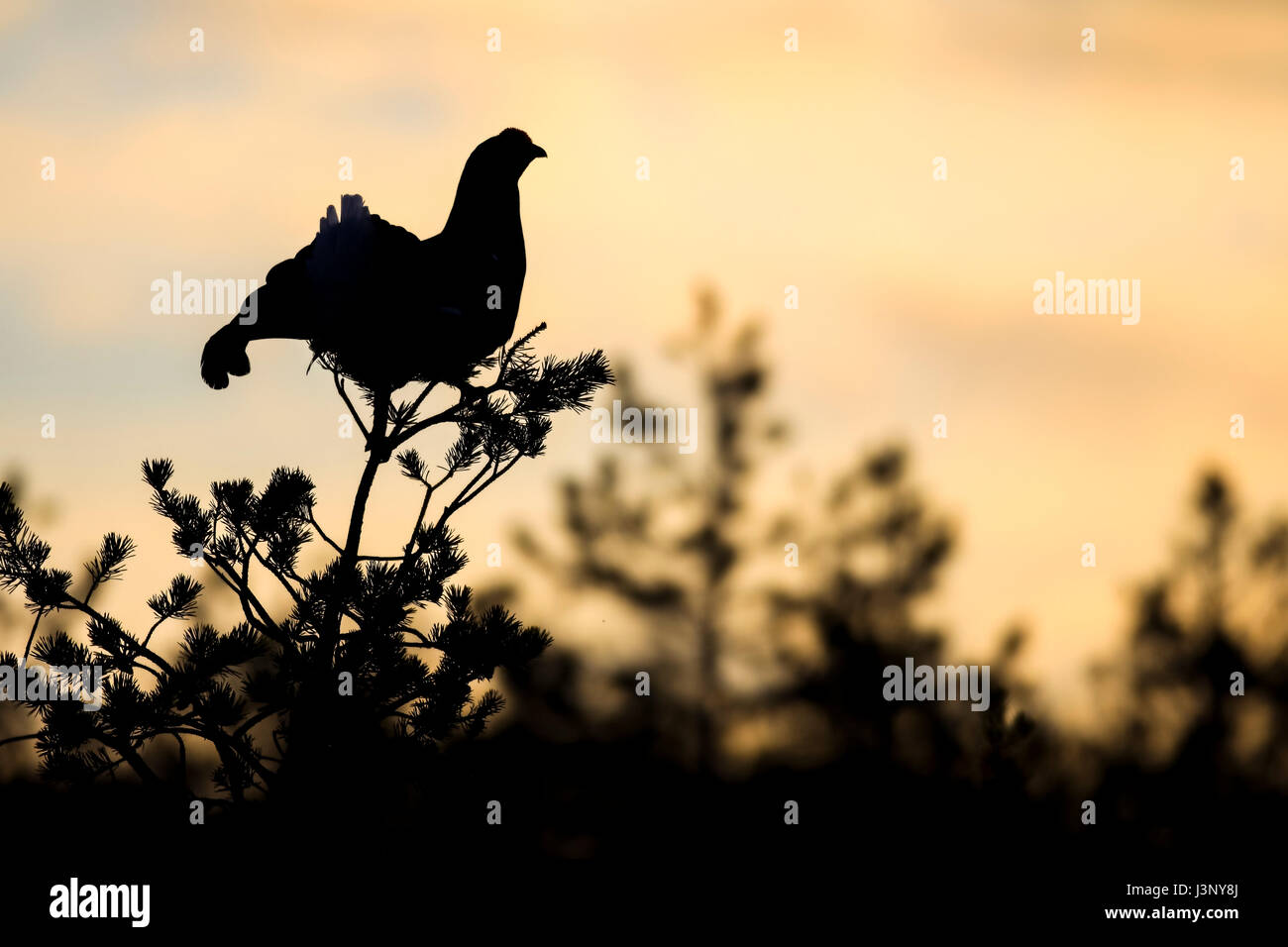 Male black grouse and the sunrise - Stock Image