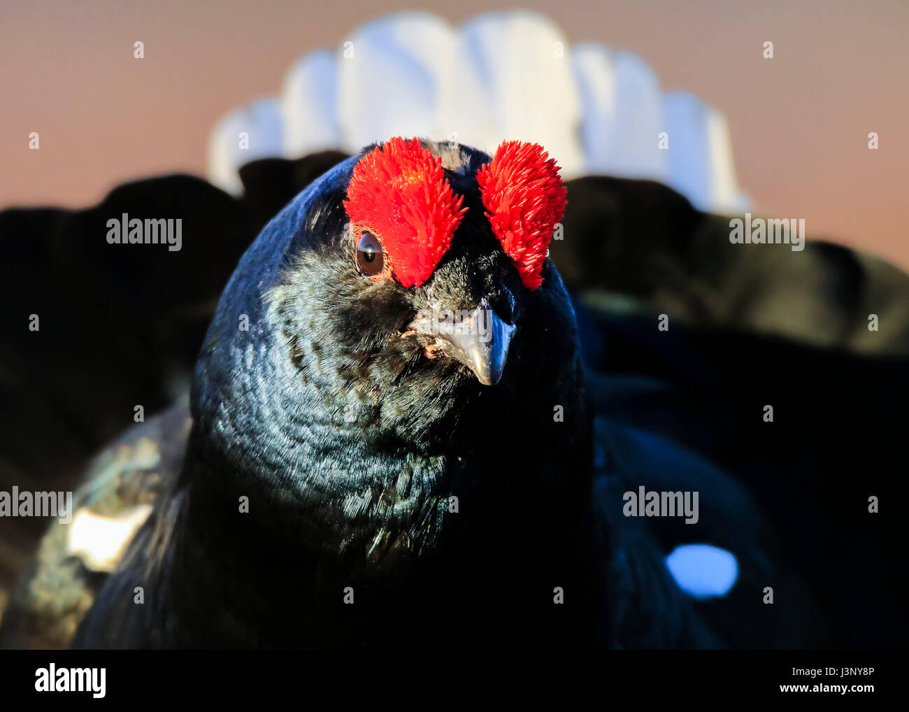 Male black grouse - Stock Image