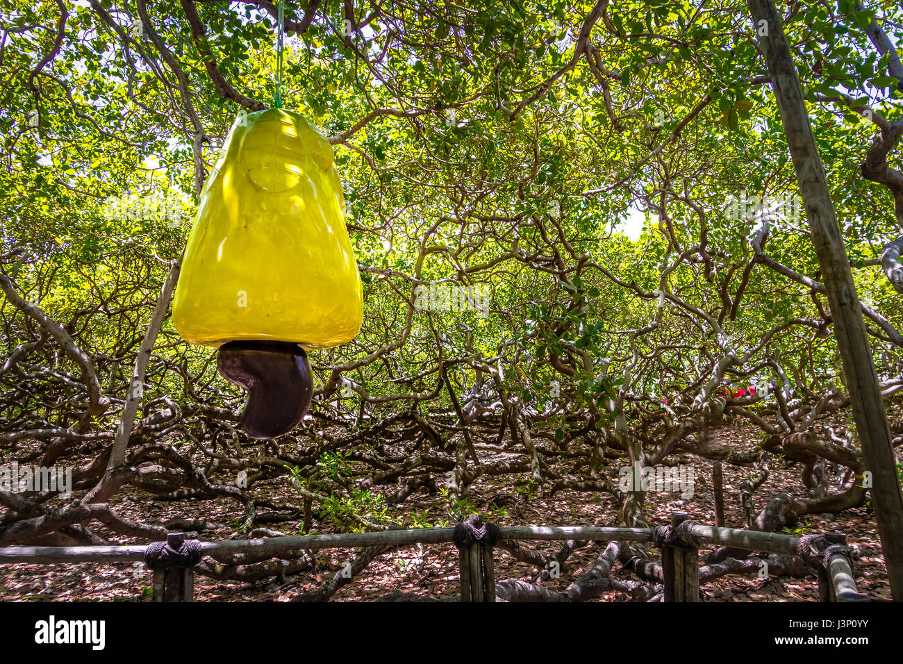 World's Largest Cashew Tree - Pirangi, Rio Grande do Norte, Brazil - Stock Image