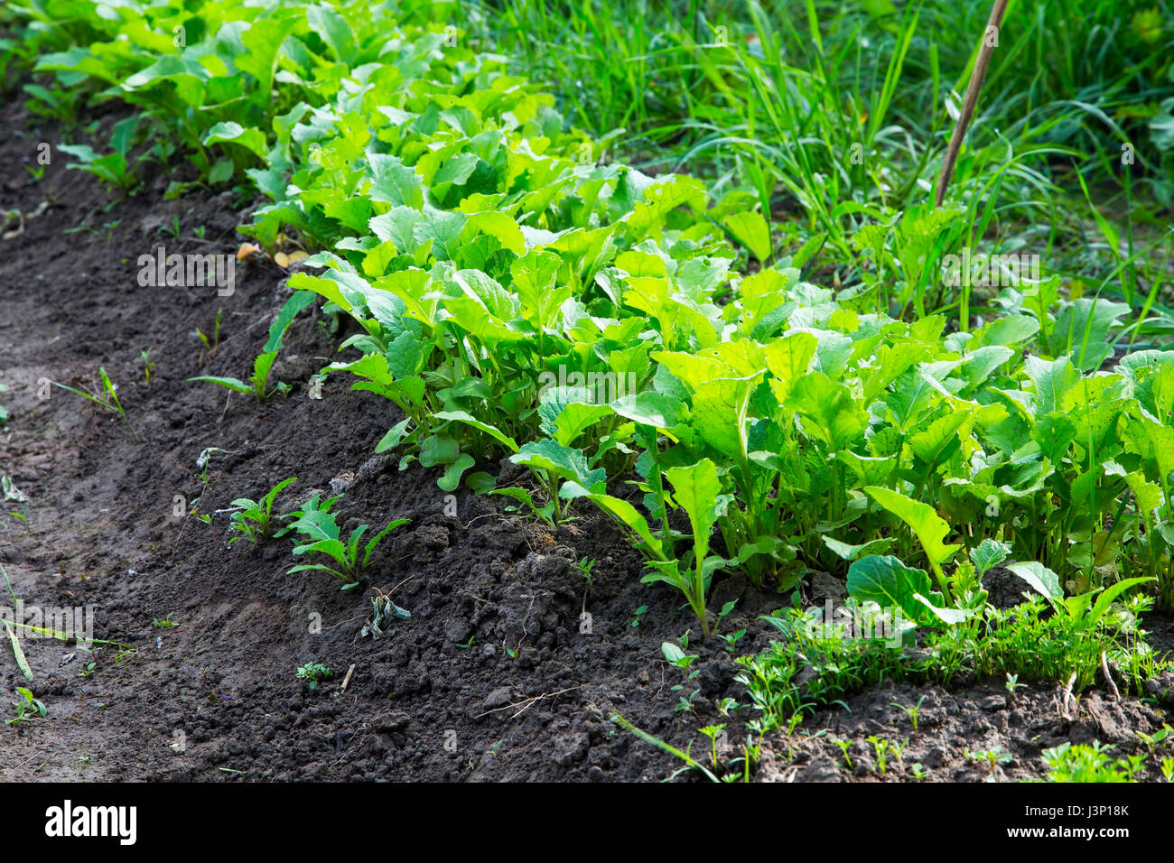 Young radish harvest row in the garden, green young leaves of radishes harvest growing in organic vegetables garden Stock Photo