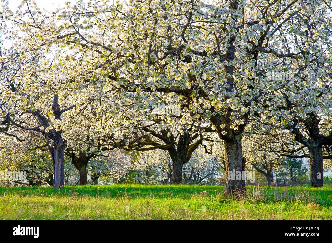 Cherry trees in springtime - Stock Image