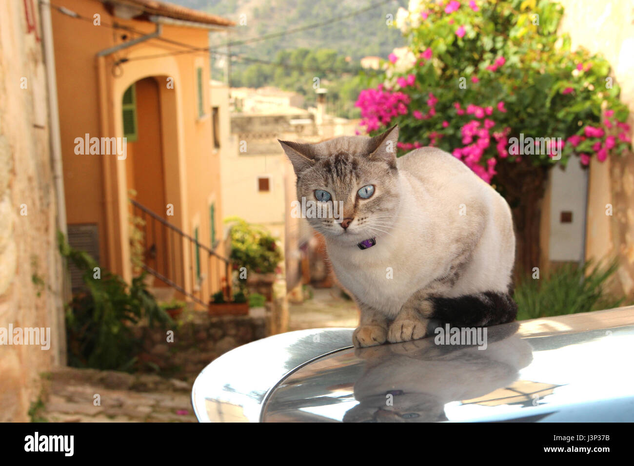 domestic cat, tabby point, siamese mix, lying on the roof of a car in front of an old romantic village - Stock Image