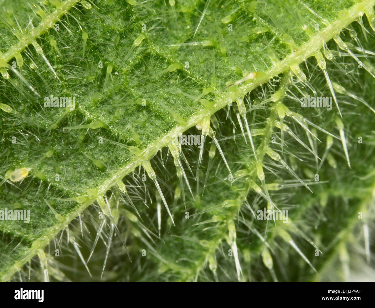 Macro of the stinging spines / hairs on the underside of a nettle leaf - Stock Image