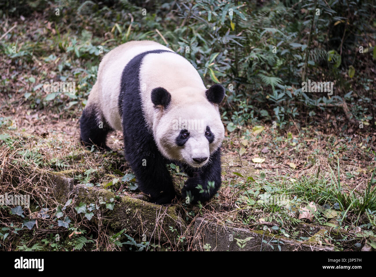 Giant panda, photographed in Sichuan, China - Stock Image