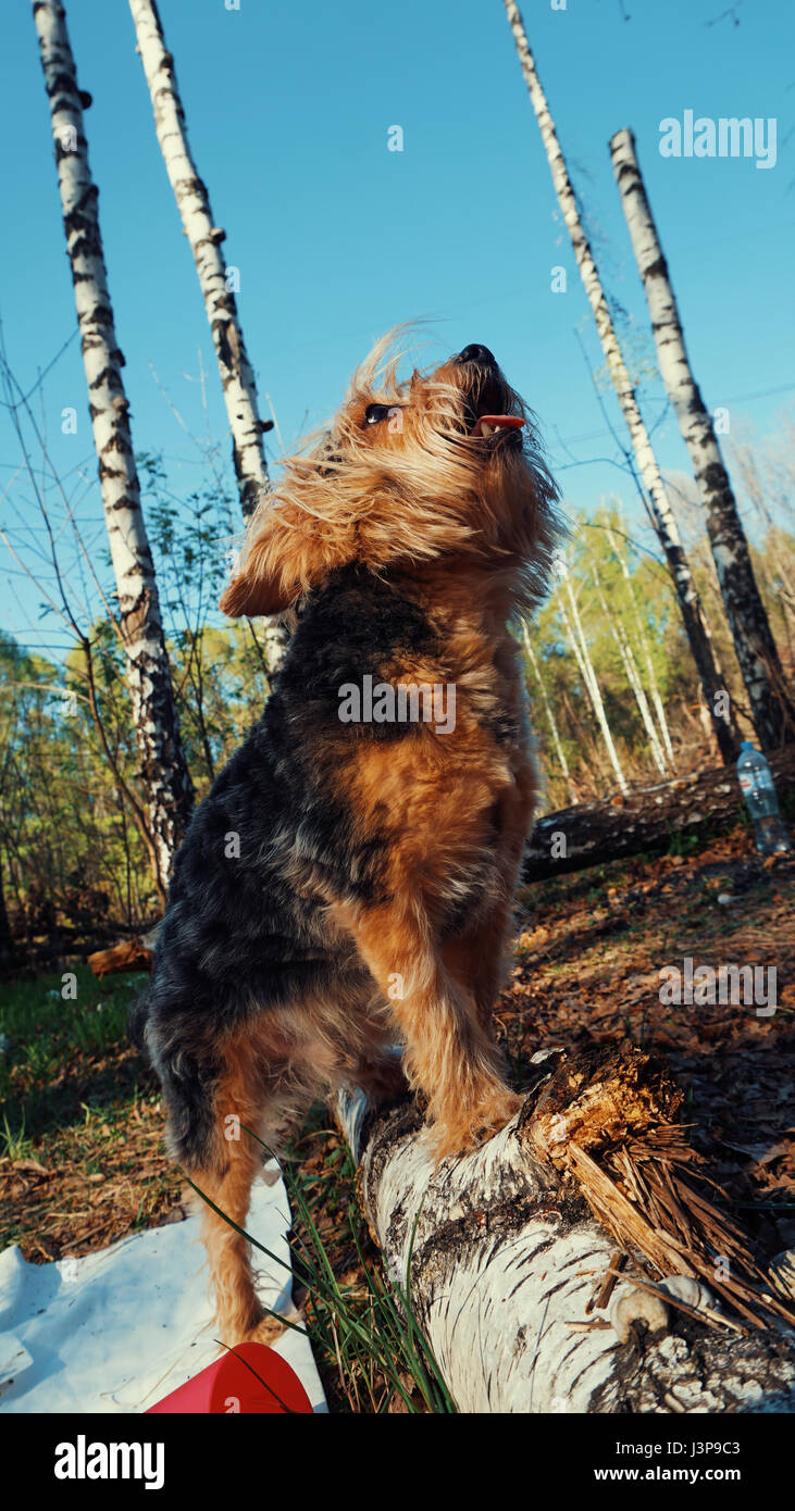 beautiful Yorkshire Terrier howls looking at the sky. - Stock Image