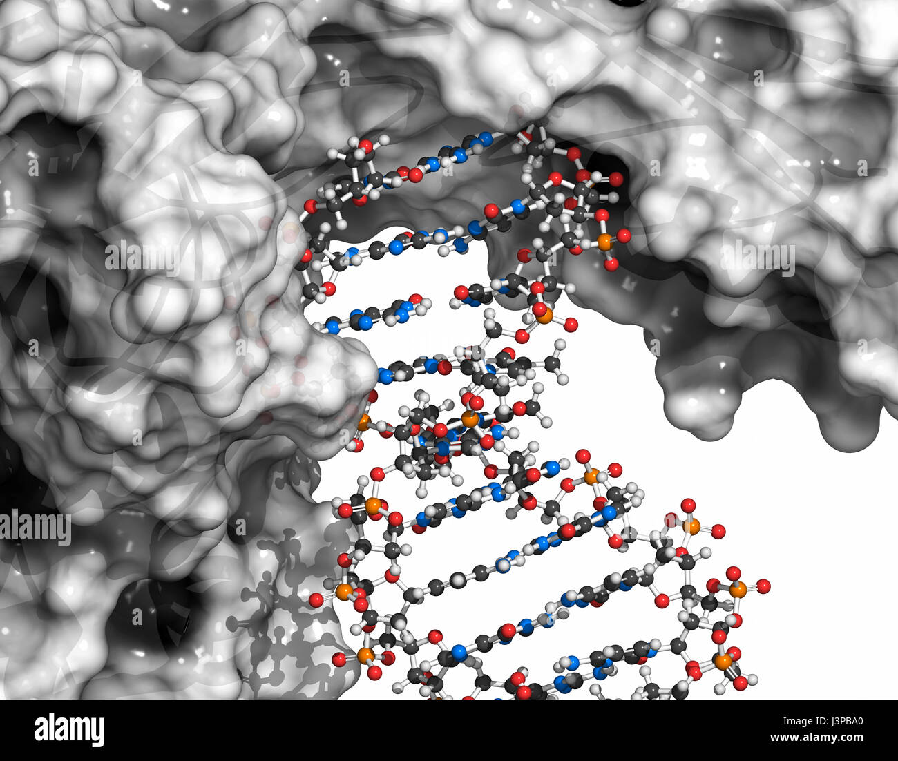Poly (ADP-ribose) polymerase 1 (PARP-1) DNA damage detection protein. Target of cancer drug development. Ball & Stock Photo