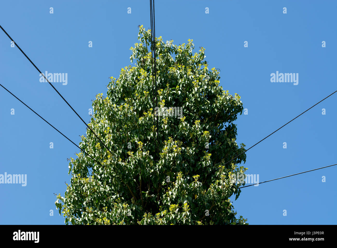 An ivy covered telegraph pole, Warwickshire, UK - Stock Image