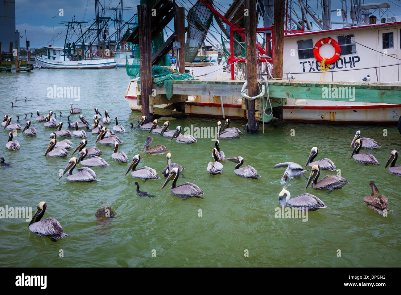 Pelicans in Galveston harbor. Pelicans are a genus of large water birds that makes up the family Pelecanidae. They - Stock Image