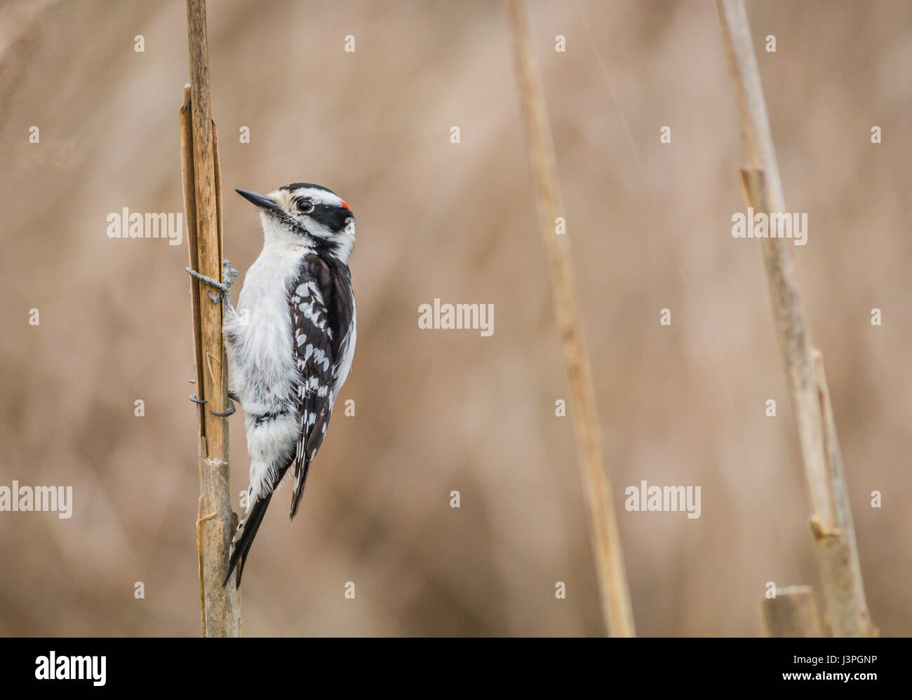 Downy Woodpecker (Picoides Pubescens) stands out among three swamp reeds - Stock Image